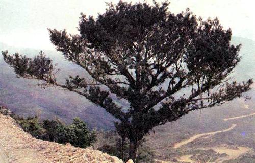 Хвойное дерево с широкими иглами, Podocarpus oleifolius, — один из нескольких видов, принадлежащих к роду Podocarpus и растущих на высоте 1800 м и выше в эквадорских Андах. Эти деревья не встречаются на территории Эквадора в дождевых лесах, по всей вероятности, потому, что предпочитают относительную прохладу гористых районов. Однако недавно автор обнаружил в эквадорских дождевых лесах ископаемые остатки Podocarpus, датированные ледниковым периодом. Это открытие послужило главным аргументом против теории рефугий, объясняющей разделение ареалов. Место, где были найдены ископаемые остатки (район Меры), располагающееся в пределах одного из предполагаемых ««убежищ», в ледниковый период, как свидетельствуют эти остатки, было холодным, а следовательно, не могло служить ««убежищем». Если в окрестностях Меры было слишком холодно, чтобы там существовал дождевой лес, можно предположить, что в некоторых или во всех других предполагаемых «убежищах» было также слишком холодно.