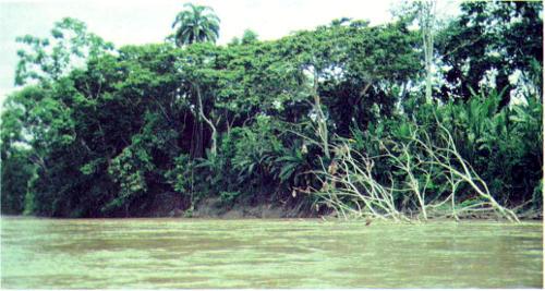 Река Напо в Эквадоре размывает берега и валит деревья. Это одна из многих рек, которые постоянно изменяют топографию дождевых лесов. Автор считает, что экосистема Амазонии адаптируется к естественным воздействиям, позволяющим выжить растениям и животным, но не к деятельности человека, который производит катастрофические по последствиям сплошные рубки