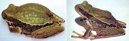 Сумка, наполненная развившимися эмбрионами, придает эквадорской квакше Gastrotheca riobambae непомерно раздутый вид (слева). После того как из отверстия сумки (оно заметно в задней части ее спины) вышло 218 головастиков, лягушка обрела свои обычные размеры (справа). Фотографии Ч. Майерса из Американского музея естествознания