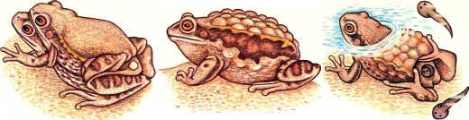 Особое репродуктивное поведение сопряжено с вынашиванием икры. У сумчатых квакш Gastrotheca riobambae при спаривании, пока самка откладывает икру, самец охватывает ее сзади и засовывает пальцы задних конечностей в сумку (слева). По мере появления икринок из клоаки самки самец направляет их в сумку и по пути они оплодотворяются той спермой, которую он предварительно отложил на спину самки. За несколько часов таким образом перемещается 100 и более икринок. Эмбриональное развитие длится более З месяцев; при этом самка настолько раздувается, что с трудом может передвигаться (в середине). Головастики выходят из сумки в воду, причем самка пальцами задних конечностей помогает им выбраться (справа)