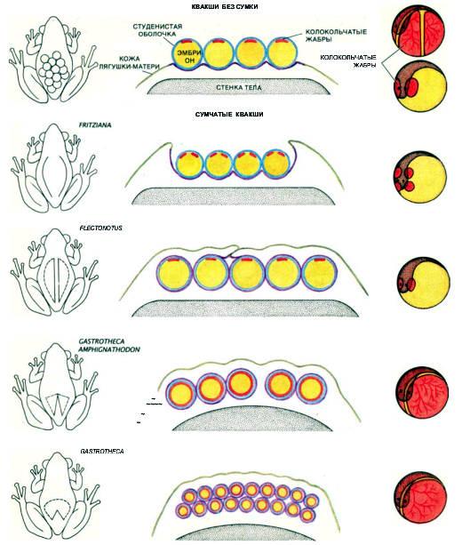 Мать и эмбрионы, развивающиеся из ее икры, у вынашивающих икру квакш находятся в тесном контакте. Здесь показаны форма сумки или места на спине, где вынашивается икра (слева) и вертикальный разрез этой части тела самки (в середине). Пронизанная кровеносными сосудами выстилка сумки (лиловая), окружающая каждую икринку, отделена от собственной сосудистой оболочки эмбриона, называемой колокольчатыми жабрами (красные), лишь тонкой студенистой оболочкой (голубая). Форма жабер может быть различной (справа); у некоторых родов они покрывают эмбрион целиком. У сумчатых квакш благодаря тесной связи между тканями матери и эмбриона происходит обмен газов и жидкостей, подобно тому как это осуществляется через плаценту у млекопитающих