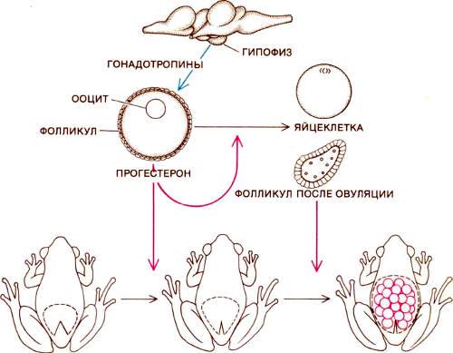 Регуляция размножения у сумчатых квакш осуществляется при помощи ряда гормонов. Под действием гонадотропинов, секретируемых гипофизом (вверху изображен мозг лягушки и расположение в нем гипофиза), в яичниках фолликул (капсула из клеток, окружающих ооцит, являющийся предшественником яйцеклетки) выделяет прогестерон. Этот гормон стимулирует созревание ооцита и вызывает закрывание отверстия сумки. После выхода яйцеклетки из фолликула он может продолжать секретировать прогестерон, который теперь стимулирует развитие сосудистых оболочек, окружающих эмбрионы в сумке. Сходное гормональное обеспечение подготавливает матку к беременности у млекопитающих