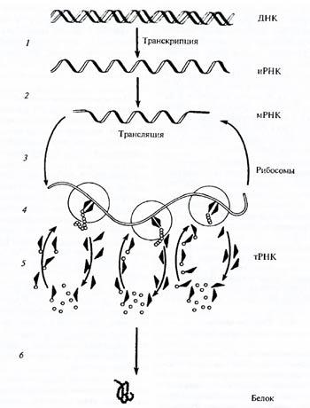 Схема биосинтеза белка (по