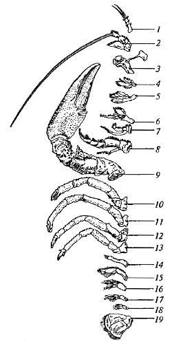 конечностей речного рака