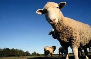 Разведение баранов на мясо